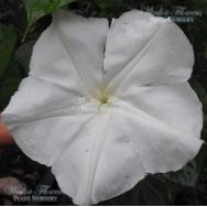 GIANT MOONFLOWER – Ipomoea alba 125mm