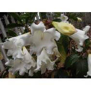 HERALDS TRUMPET – Beaumontia grandiflora 125 mm