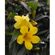 CAROLINA JESSAMINE – Gelsemium sempervirens 125mm