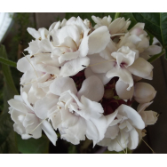 CASHMERE BOUQUET – Clerodendrum chinense var. chinense 125mm Rare