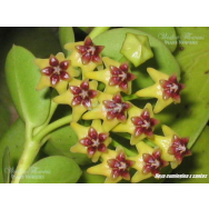 HOYA CUMINGIANA – 175 mm Hanging Basket