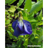 BUTTERFLY PEA DOUBLE FORM – Clitorea ternatea flore plena 125mm
