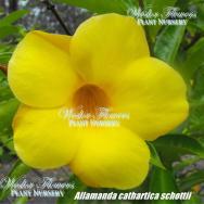 GOLDEN  TRUMPET VINE – Allamanda cathartica schottii 125mm