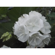 TROPICAL SNOWBALL – Dombeya burgessiae Rare 125mm