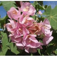 PINK DOMBEYA – Dombeya calantha – Rare 125mm