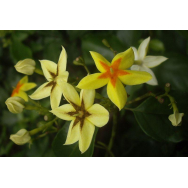 FOREST STAR – Mussaenda arcuata – Rare – 125mm