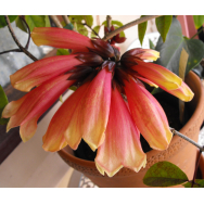 'SHANNON, Tecomanthe dendrophylla cv. 'Shannon' 125mm