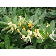JAPANESE HONEYSUCKLE – Lonicera japonica 125mm