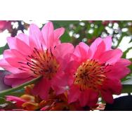 HONG KONG ROSE – Rhodoleia championii 125mm Rare
