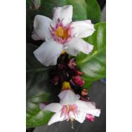 CLIMBING OLEANDA – Strophanthus gratis 125mm Rare