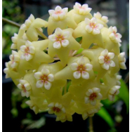 HOYA POTTSII – cv. Kuranda Creek 75 mm