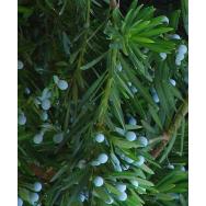 JAPANESE YEW – Podocarpus macrophyllus – 125 mm