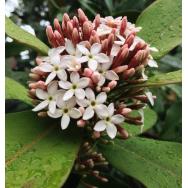 WINTERSWEET – Acokanthera spectabilis – 125 mm Rare