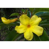 GOLDEN BELL – Allamanda cathartica laevis 125 mm  Rare
