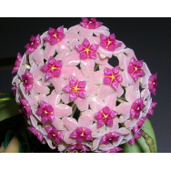 HOYA ALDRICHII – Christmas Island Wax Vine 130 mm Hanging Basket