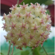 HOYA ERYTHROSTEMMA – 130 mm Hanging Basket