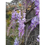 CHINESE WISTERIA – Wisteria sinensis 175mm