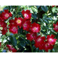 BLOOMFIELD COURAGE – Climbing Rose 175 mm
