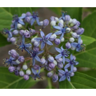 EVERGREEN HYDRANGEA – Dichroa versicolour 125mm