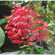 PAGODA FLOWER – Clerodendrum buchananii 125 mm