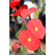 THORNLESS CROWN OF THORNS – Euphorbia geroldii 125 mm pot