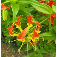 GLORY LILY – Gloriosa Rothchildiana 125 mm pot