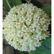 HOYA VERTICILLATA – Hanging Basket 130mm