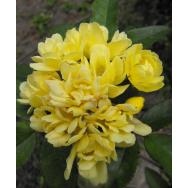 YELLOW BANKSIA  ROSE – Rosa banksiae lutea 125mm pot