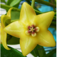 HOYA CORONARIA sp. GOLD STAR – IML 0143 75 mm pot