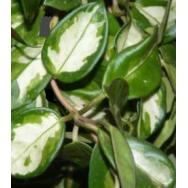 HOYA KRIMSON PRINCESS – Hoya carnosa variegata 75 mm pot