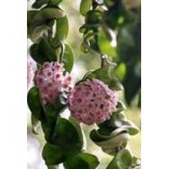 INDIAN ROPE HOYA – Hoya carnosa compacta 75 mm pot