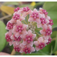 HOYA DIVERSIFOLIA – 175mm Hanging Basket