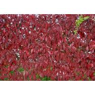 VIRGINIA CREEPER – Parthenocissus quinquefolia 125 mm pot