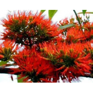 FLAME CREEPER – Combretum mycrophyllum 125 mm pot