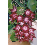 HOYA MACGILLIVRAYI – ssp. Langkelly Creek – 125mm Hanging Basket