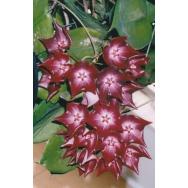 HOYA MACGILLIVRAYI – IML 0015-ssp. Langkelly Creek – 125mm Hanging Basket