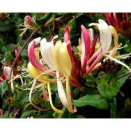 HONEYSUCKLE 'FLORIDA' – Lonicera periclymenum 125 mm pot