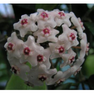 PORCELAIN FLOWER –  Hoya shepherdell – IML 190 – 75 mm pot