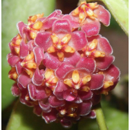 HOYA DAVIDCUMINGII-125 mm Hanging Basket