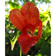 RED RUELLIA – Ruellia affinis 125mm pot rare