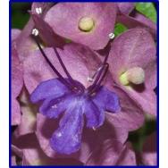 CHINESE HAT PLANT- Holmskioldia speciosa-125mm pot