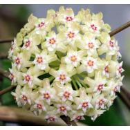 HOYA CITRINA – Hoya citrina IML 0734 rare 125 mm Hanging Basket