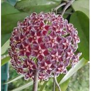 HOYA CHIMERA – Hoya publicalyx cv. chimera- 125mm Hanging Basket
