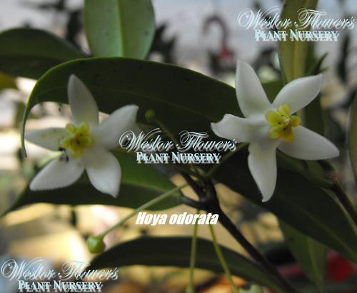 Hoya Odorata Syn Hoya Cembra 75mm Weslor Flowers Plant Nursery