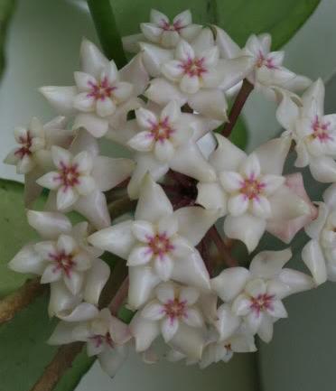 Hoya Product Categories Weslor Flowers Plant Nursery