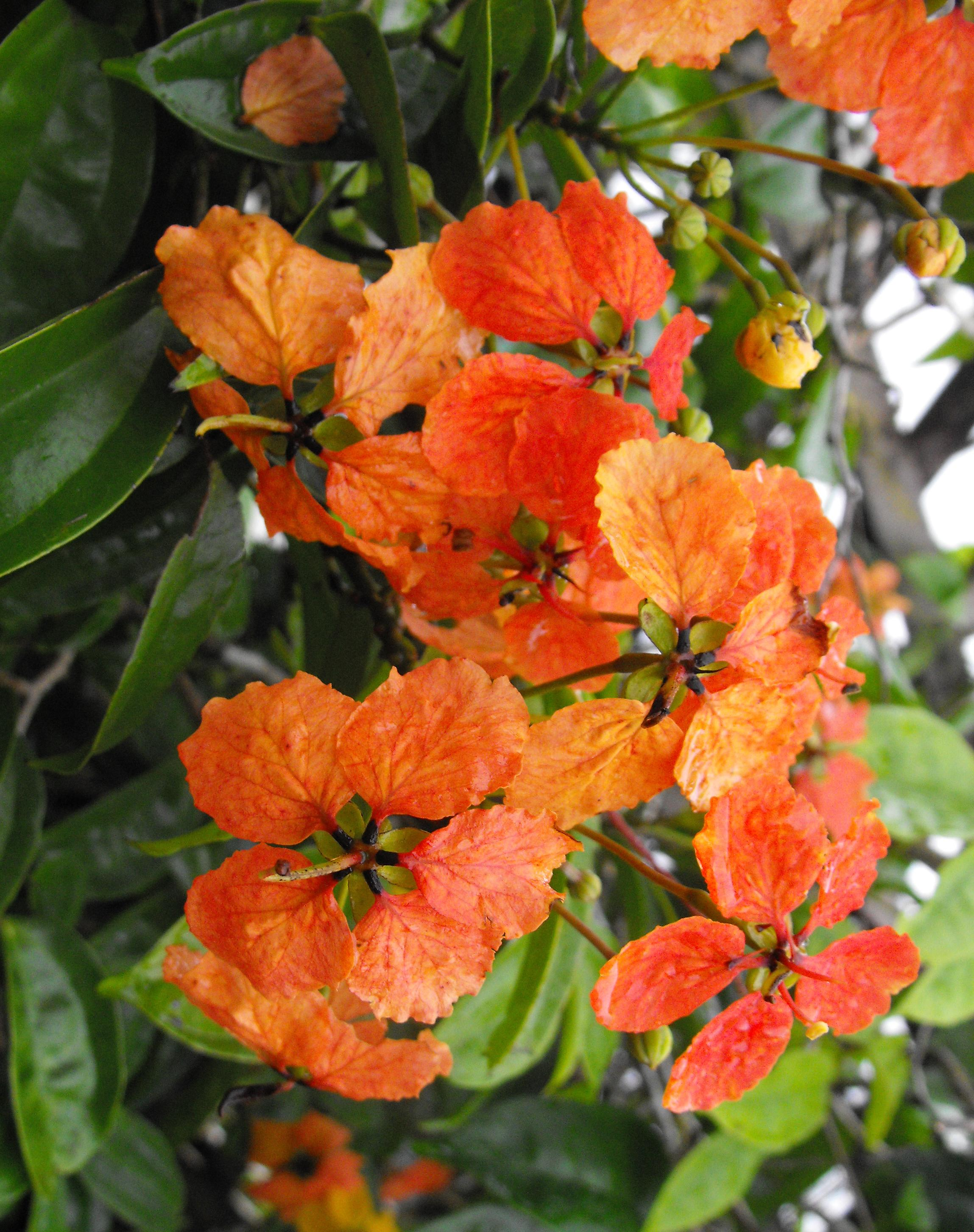 Orange Climbing Bauhinia Iana 125 Mm Rare